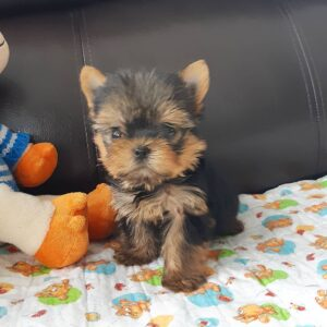 male teacup Yorkie puppy for sale
