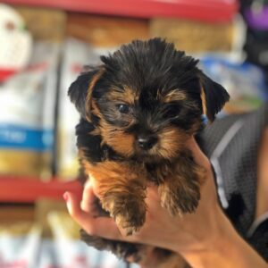 uy 11 weeks Yorkie puppies in USA